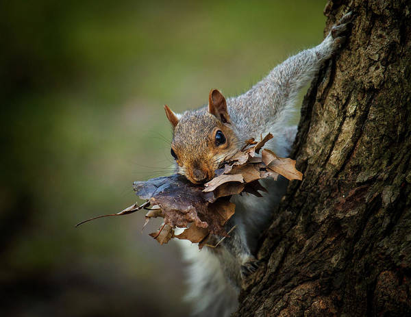 Seasonal Photograph - Nest Building Squirrel by Michael Castellano