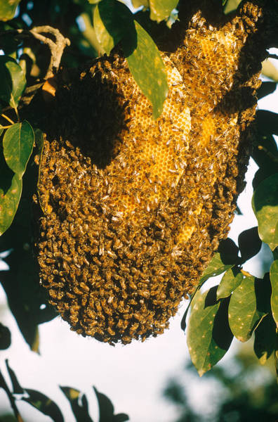 Wall Art - Photograph - Nest Of Bees On Exposed Branch by Robert C. Hermes