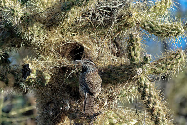 Cactus Wren Wall Art - Photograph - Nesting Cactus Wren by Kathleen Bishop