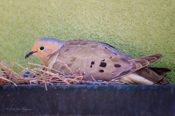 Photograph - Nesting Dove by Jim Thompson
