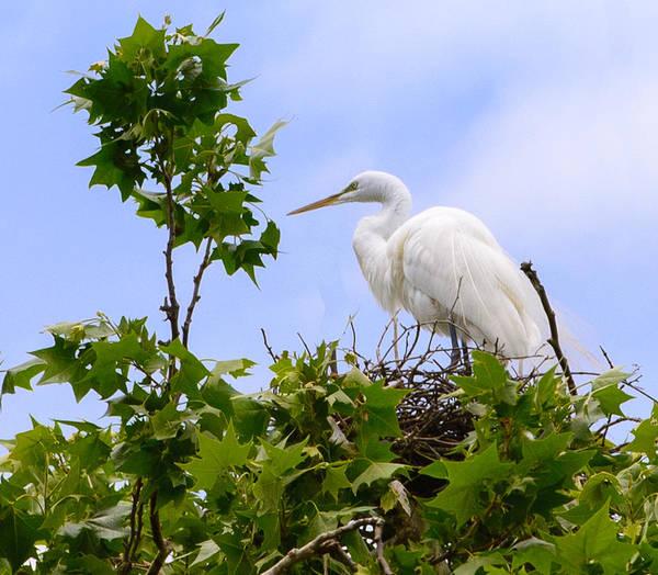 Photograph - Nesting Egret by John Johnson