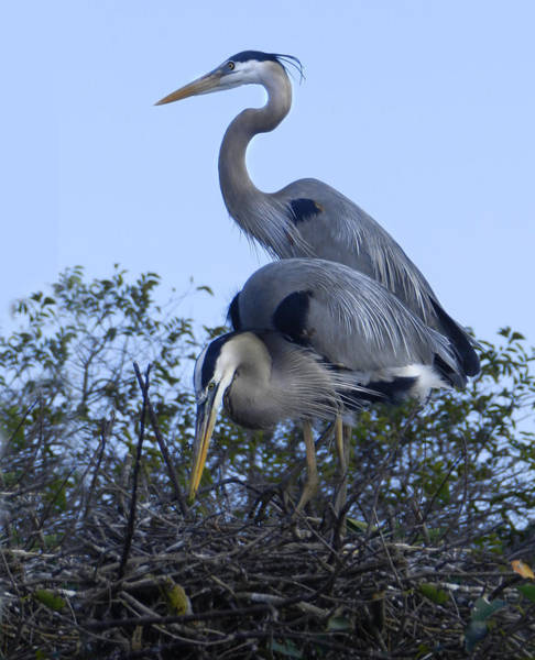 Photograph - Nesting Great Blue Herons by Grace Dillon