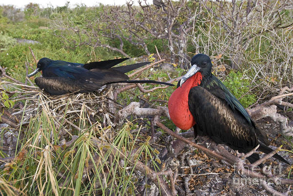 Gular Photograph - Nesting Great Frigatebirds by William H. Mullins