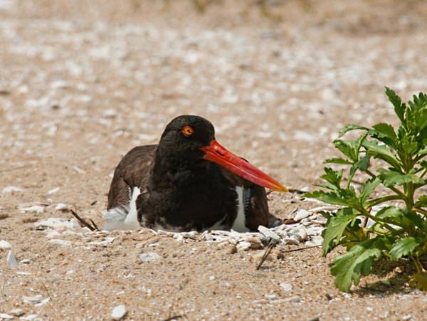 Photograph - Nesting Oyster Catcher by Lara Ellis