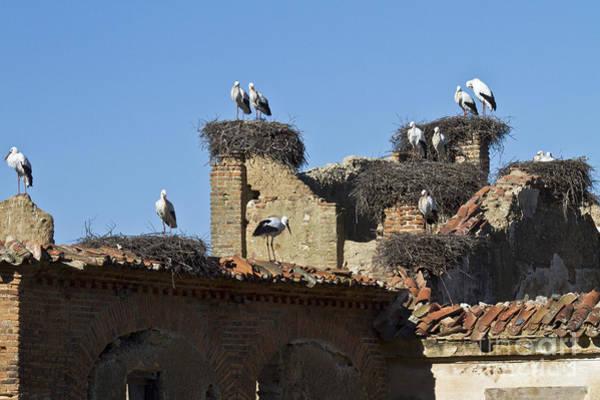 Photograph - Nesting Stork Colony by Heiko Koehrer-Wagner