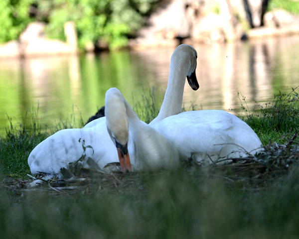 Photograph - Nesting Swans by Toby McGuire