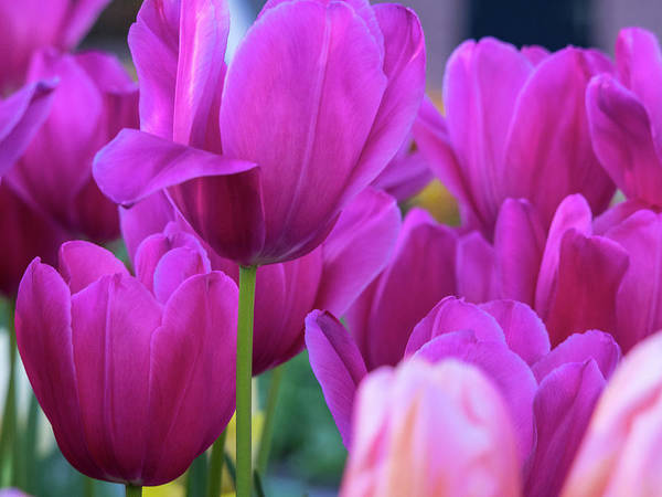 Wall Art - Photograph - Netherlands, Lisse, Tulip Close-ups by Terry Eggers