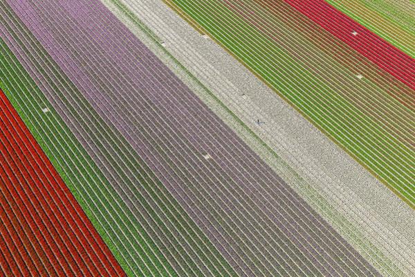 Dutch Tulip Photograph - Netherlands, Tulip Fields by Peter Adams