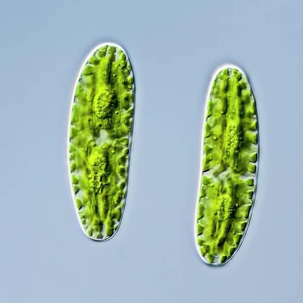 Aquatic Plants Photograph - Netrium Oblongum Green Algae by Gerd Guenther