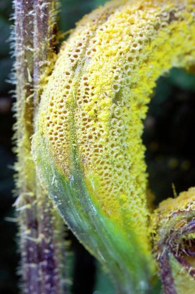 Rust Fungus Photograph - Nettle Gall Induced By Puccinia Urticata by Dr Jeremy Burgess