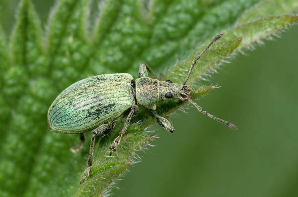 Entomology Photograph - Nettle Weevil by Nigel Downer