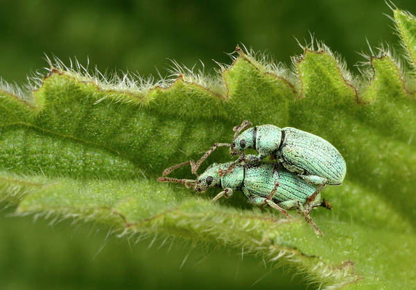 Entomological Photograph - Nettle Weevils by Nigel Downer