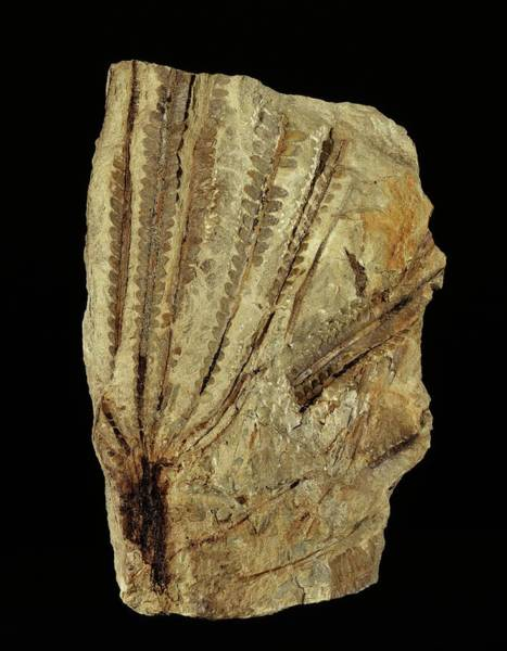 Specimen Wall Art - Photograph - Neuropteridium Tree Fern Fossil by Gilles Mermet