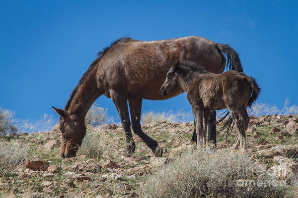 Mare And Foal Photograph - Nevada Mustang by Mitch Shindelbower