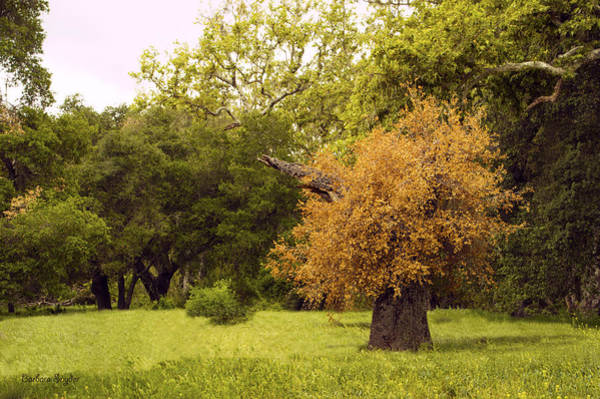 California Oak Digital Art - Never Say Die Red Oak Solvang California 2 by Barbara Snyder