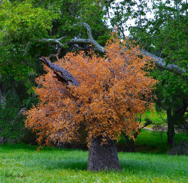 California Oak Digital Art - Never Say Die Red Oak Solvang California 3 by Barbara Snyder