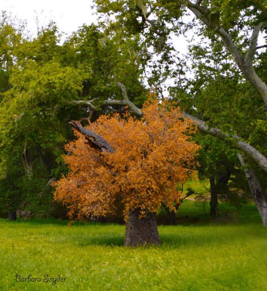 California Oak Digital Art - Never Say Die Red Oak Solvang California 4 by Barbara Snyder
