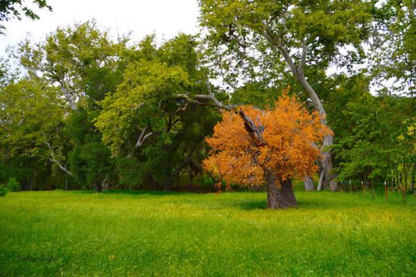 California Oak Digital Art - Never Say Die Red Oak Solvang California by Barbara Snyder
