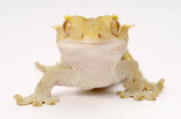 Photograph - New Caledonian Gecko by Francesco Tomasinelli