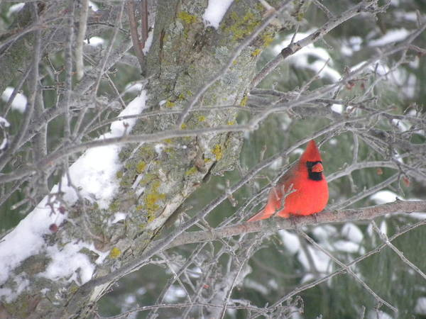 Photograph - New Day Cardinal by Peggy  McDonald