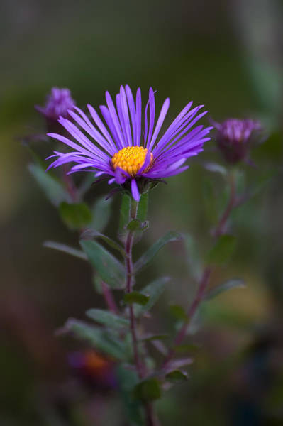 Photograph - New England Aster by Dale Kincaid