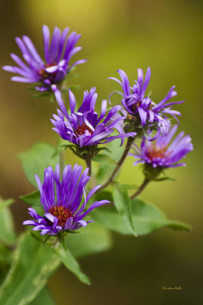 Photograph - New England Aster Flowers by Christina Rollo