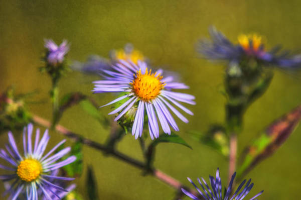Aster Photograph - New England Asters by Susan Capuano
