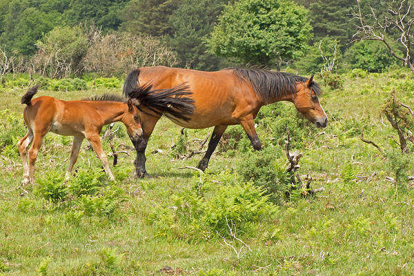 Photograph - New Forest Pony And Foal by Tony Murtagh
