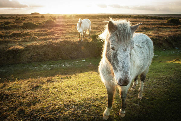 English Culture Photograph - New Forest Wild Ponies by Projectb