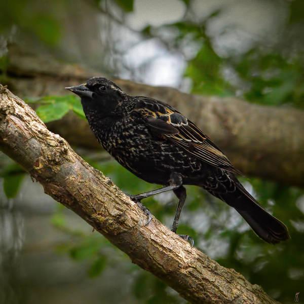 Photograph - Red Winged Blackbird - New Heights - 06.04.2014 by Jai Johnson