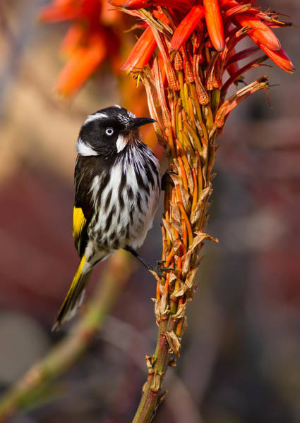 Red-hot Poker Photograph - New Holland Honeyeater Perching by Bill  Robinson