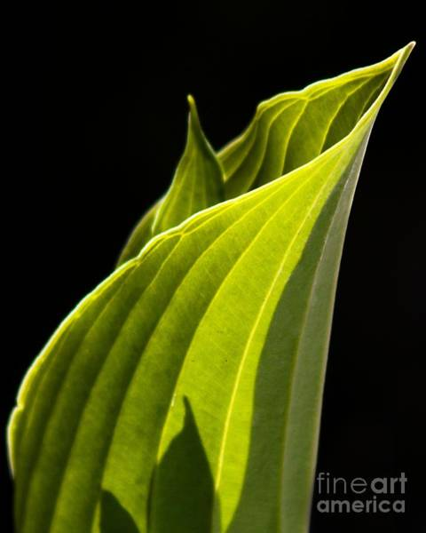 Photograph - New Hosta by Richard Lynch
