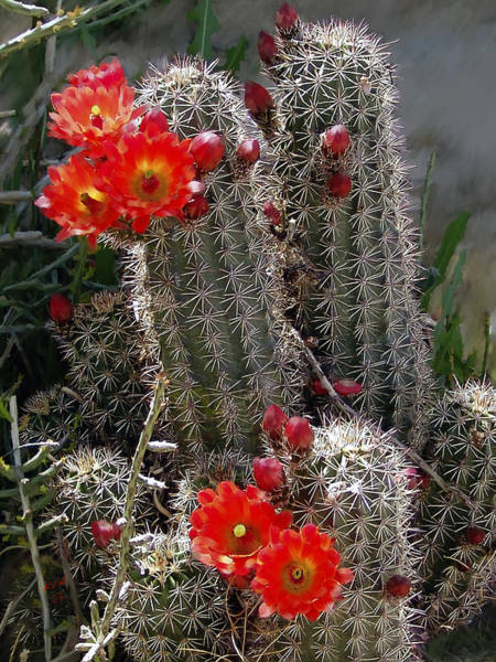 Hedgehog Photograph - New Mexico Cactus by Kurt Van Wagner