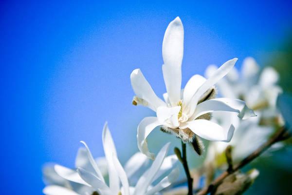 Photograph - New White Magnolia Blossom by Raimond Klavins