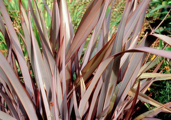Bronze Leaf Wall Art - Photograph - New Zealand Flax (phormium 'bronze Baby') by Mrs W D Monks/science Photo Library