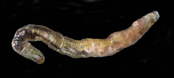 Wall Art - Photograph - New Zealand Glowworm, Sem by Ted M. Kinsman