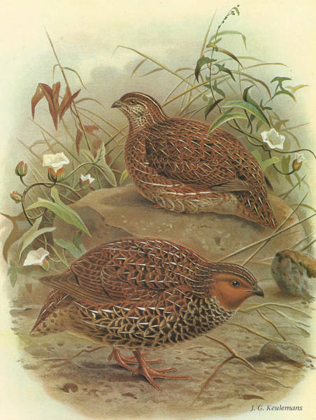 Quail Wall Art - Painting - New Zealand Quail by Dreyer Wildlife Print Collections
