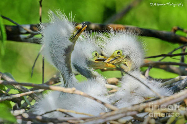 Photograph - Newborn Egrets by Barbara Bowen