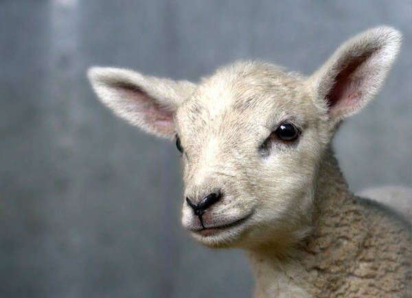 Animal Head Photograph - Newborn Lamb by Bob Van Den Berg Photography