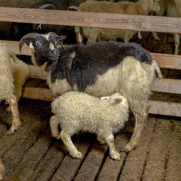 Ewe Photograph - Newborn Lamb Feeding From Ewe, Eastern by Panoramic Images