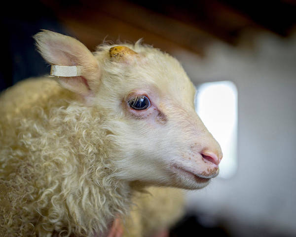 Ewe Photograph - Newborn Lamb Tagged, Eastern, Iceland by Panoramic Images