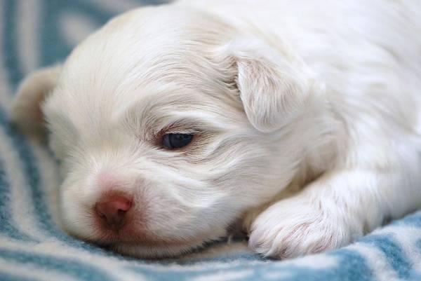 Maltipoo Wall Art - Photograph - Newborn Puppy by Lisa  DiFruscio