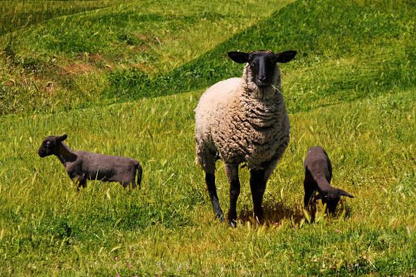 Lamb Photograph - Newborn Twins by Donna Kennedy