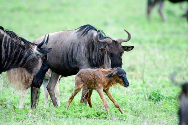 Wall Art - Photograph - Newborn Wildebeest Calf by Panoramic Images
