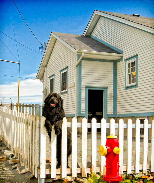 Photograph - Newfoundland Dog In Newfoundland by Les Palenik
