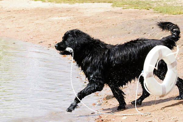 Canine Photograph - Newfoundland Taking Rescue Float by Piperanne Worcester