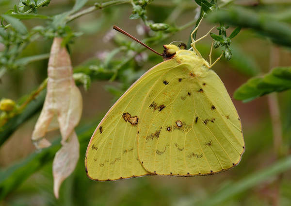 Photograph - Newly Emerged Cloudless Sulphur Butterfly With Chrysalis In Background by Daniel Reed