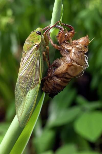 Cicada Wall Art - Photograph - Newly Emerged Green Grocer Cicada by Dr Jeremy Burgess