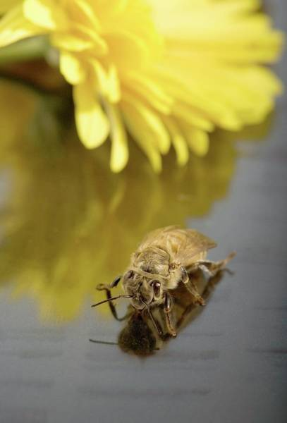 Honey Photograph - Newly Emerged Honey Bee by Peggy Greb/us Department Of Agriculture