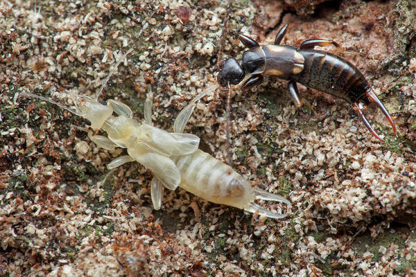 Molting Wall Art - Photograph - Newly Moulted Earwig by Melvyn Yeo/science Photo Library